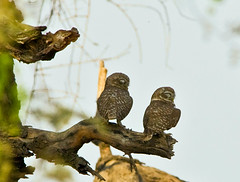 Spotted Owlet Pair with Shut Eyes (aeschylus18917) Tags: india bird nature birds nikon wildlife pair feathers owl d200 rajasthan bharatpur  80400mm strigidae 80400mmf4556dvr keoladeo spottedowlet athenebrama 80400mmf4556vr  keoladeosanctuary danielruyle aeschylus18917 danruyle druyle