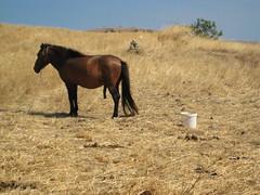 (Demetris Taliotis) Tags: horse fauna penis greece lemnos
