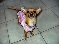 Dash (Lady Pandacat) Tags: pink portrait dog silly self puppy dress mexican dash hispanic latina 2009 chiahuahua fantabulous pandacat canona570is pandacatbaby tinaangel yeahiknowimpale