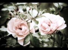 Softness (❁bluejay 2006❁) Tags: pink flowers roses nature rose fleurs dreamy monday heavenly rosebushes naturesfinest artisticexpression haveagreatweek abigfave nikond40 betterthangood naturethroughthelens bluejay2006
