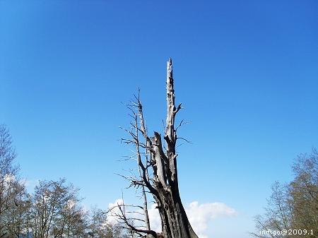 廝守。夫妻樹