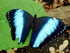 Blue Morpho Butterfly (Laramie_Coyote) Tags: nature butterfly wildlife butterflies insects morpho mariposas bluemorpho butterflyblues faithfulflickrfriends natureoutpost butterflieselegance damniwishihadtakenthat vosplusbellesphotos the3bs damn10plus damn5plus btglevel1