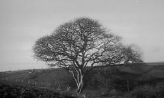 Farmland near Trewollock (sfb_dot_com) Tags: leica england film vintage cornwall manual prewar ilfordhp5plus summar staustell uncoated id1111 leicaiii 35mmbwnegative summar5cmf2