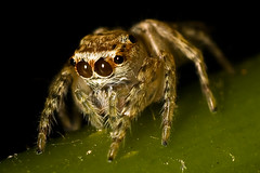 Jumping spider (Alj_manila) Tags: macro fun 85mm insects jumper napw pinoymacro