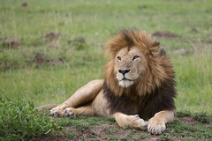 Notch (Lyndon Firman) Tags: kenya lion notch masaimara animalkingdomelite