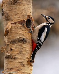 Great Spotted Woodpecker (Roger B.) Tags: bird woodpecker 50200mm greatspottedwoodpecker dendrocoposmajor zd dendrocopos pottericcarrbirch
