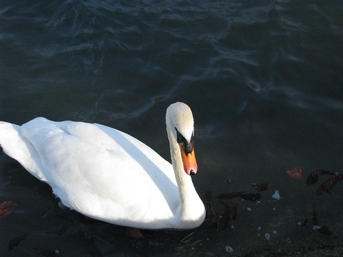 14-Cisne se aproxima curioso