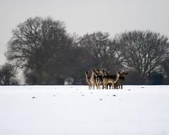 Deer-090210-Luton-StevenGray-1280x200-IMG_9007 (StevenRGray.co.uk / Stevipedia.co.uk) Tags: wild snow back background ground deer backgrounds luton 1024 1280 1280x1024 wwwstevipediacouk stevipedia x1280