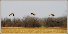 Geese in Flight II (mightyquinninwky) Tags: trees bird field birds rural geotagged flying geese inflight wings award waterbird aves goose ave watershed letterbox treeline invite waterbirds wildliferefuge cinemascope awarded harvestedfield floodplane avianphotography betterthangood sloughswildliferefuge geo:lat=37845986 geo:lon=87696776 bestofformyspacestation