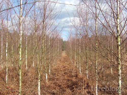 thetford silver birch provenance trial