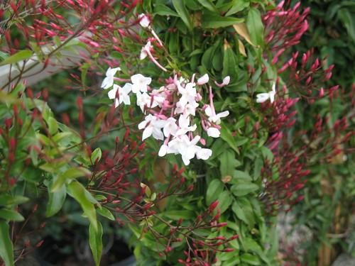 pink jasmine vine