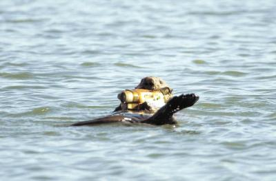 Camera toting otter (Courtesy Santa Cruz Sentinel)