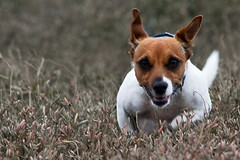 A Lunchtime Gallop (me'nthedogs) Tags: jrt cornwall terrier snaps jackrussel lunchbreak lowlevel 752 52weeksfordogs