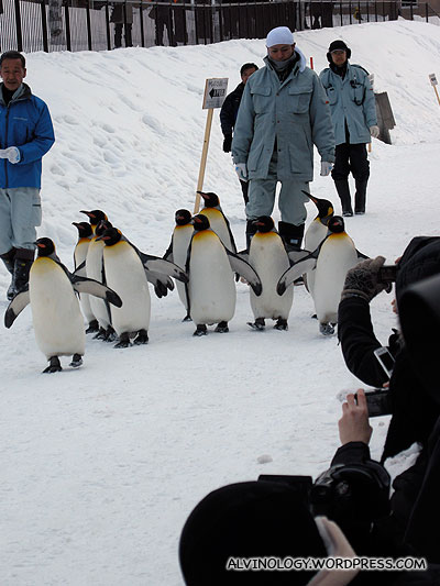 King Penguins minding their own business