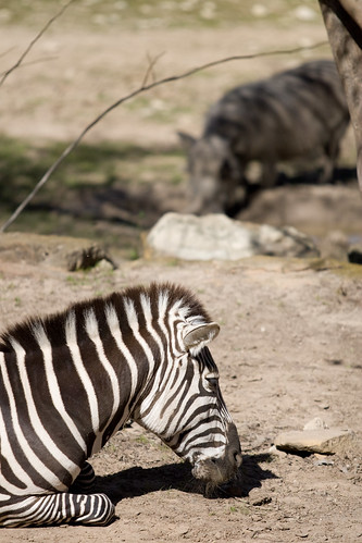 Fort Worth Zoo - Grant Zebras