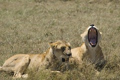 Lioness (Escoffier Photography) Tags: africa animal feline kenya wildlife lion sigma savannah afrique masaimara felin savane d80 viesauvage flickrbigcats