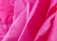 Pink Layers (Voiceless eyes) Tags: pink abstract flower nature monochrome rose blossom gift pinkflower bloom  pinkrose