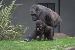 2009-03-15-11h08m48.IMG_5772l (A.J. Haverkamp) Tags: amsterdam dierentuin httpwwwartisnl artis thenetherlands gorilla pobrotterdamthenetherlands dob03061985 shomari pobamsterdamthenetherlands dob12072007 canonef70200mmf28lisusmlens zoo shindy sindy