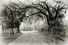 The road that never ends (Sco C. Hansen) Tags: bw tree sc blackwhite oak nikon gate farm spanishmoss dirtroad hansen fense lowcountry d300 beaufortcounty beaufortphotography