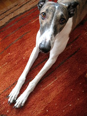 Skinny dog on a red rug, 3 (strass) Tags: stella red dog greyhound skinny carpet rug brindle 2009 snout