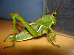 Gafanhoto rei II (Andregm.bio I) Tags: macro insect inseto orthoptera macrophotography gafanhoto grilo macrofotografia grasshoper acrididae caelifera