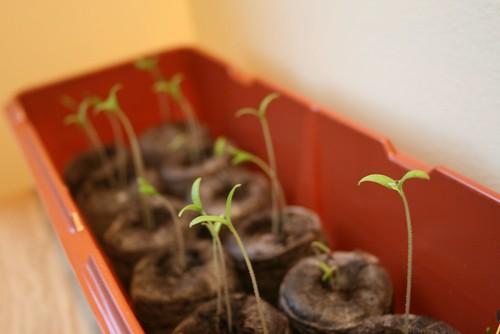 tomato_sprouts