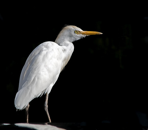 Florida egret by Alida's Photos