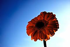 Luz primaveral (hiskinho) Tags: blue red sky flower macro hoja primavera azul rouge spring rojo waterdrop flor drop gotas ciel cielo detalles raindrop rocio abigfave