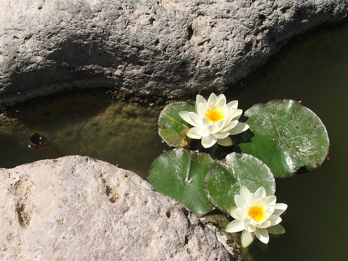 Water Lillies in the Japanese Friendship Garden in Phoenix, Arizona