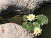 Water Lillies in the Japanese Friendship Garden in Phoenix, Arizona