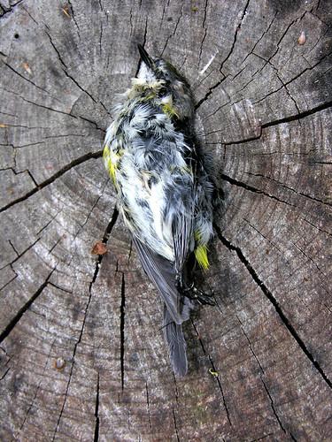 BONELUST - Dead Yellow-rumped Warbler 2