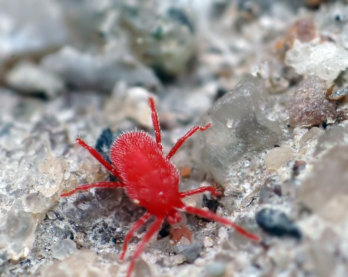 Tiny Red Spider Mite. Flickriver  John H Gagnon III s most interesting photos