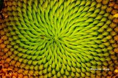 Geometría/Geometry (Altagracia Aristy Sánchez) Tags: américa dominicanrepublic sunflower tropic caribbean girasol antilles caribe repúblicadominicana trópico antillas quisqueya abigfave fujif40 fujifilmfinepixf40fd flordelsol natureselegantshots flickrflorescloseupmacros sanrafaeldeyuma caraïbi