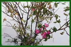 945.--Se les perdi la primavera? (SILVIA O.G.) Tags: chile patagonia naturaleza flores nieve ciudad punta invierno arenas magallanes puntaarenas onlythebestare silviaog