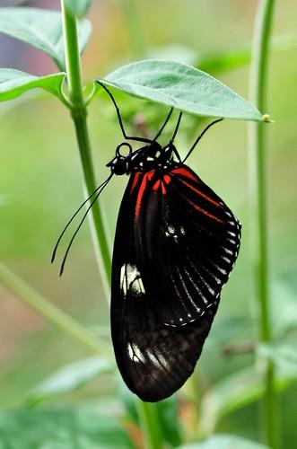 butterflies-Brooksde - 51