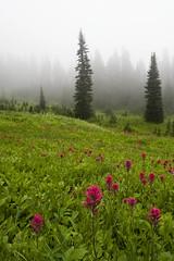 Fireflies (_Massimo_) Tags: flowers usa fog mountrainiernationalpark fiori washingtonstate nebbia massimostrazzeri ziomamo nonsivedevauncavolodiniente icouldntseeacabbageofanything