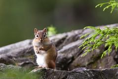 [フリー画像] [動物写真] [哺乳類] [小動物] [リス科] [リス] [シマリス]     [フリー素材]