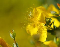 14 flowers Halimium Calycinum (histogram_man) Tags: uk england flower london bexley tamron90mm halimiumcalycinum