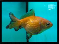 Pearlscale Goldfish (#RawNigga Indahouse) Tags: zierfische pet gezchtet fische fisch fancy tier hobby fishtank tiere sswasser aquarien home fish aquarium animal freshwater coldwater goldfish pearlscale carp orange pearl pearlscalegoldfish ornamental