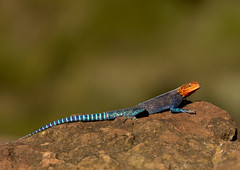 Red-headed Agama lizard - Kenya (Eric Lafforgue) Tags: africa animal kenya culture tribal lizard explore tribes afrika tradition tribe ethnic tribo afrique ethnology tribu eastafrica agama 1061 lakenakuru qunia lafforgue ethnie nakura  qunia  redheadedagama   kea   leazrd 02128s 36322e  a