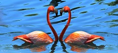 Flamingo Heart ! (Saad Al-Enezi) Tags: blue red england panorama lake water nikon heart flamingos saad northyorkshire d300 colorphotoaward aplusphoto flickraward naturewatcher flickrlovers nikonflickraward natureandnothingelse creattivit fabbow absolutelyperrrfect alenzisaad flickrunitedaward flamingolandthemeparkandzoo alenzi