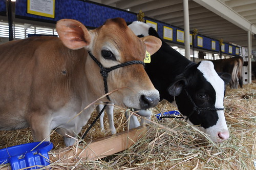 Or get burgers and milk from pretty, well-cared for cows like these?