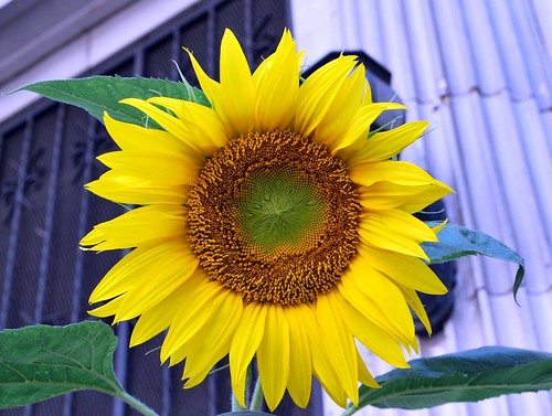 Stella's sunflower