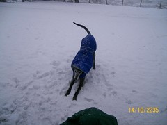 Breagha (Niseag) Tags: snow playing beautiful blackgreyhound breagha