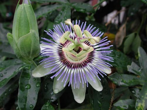 Passiflora caerulea?