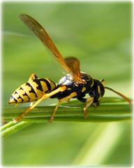 Avispa (Patataasada) Tags: naturaleza macro verde hoja nature animal closeup bug insect leaf vespa wasp negro amarillo 1001nights bicho insecto antenas avispa apix artrópodo concordians platinumheartaward a3b a3bchallenge flickrestrellas quarzoespecial platinumpeaceaward ringexcellence