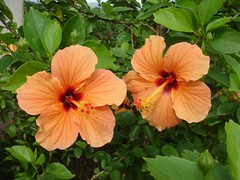 who is better looking of the two?? (syzygy_in) Tags: orange flower hibiscus i500 interestiness67 explore28august2009