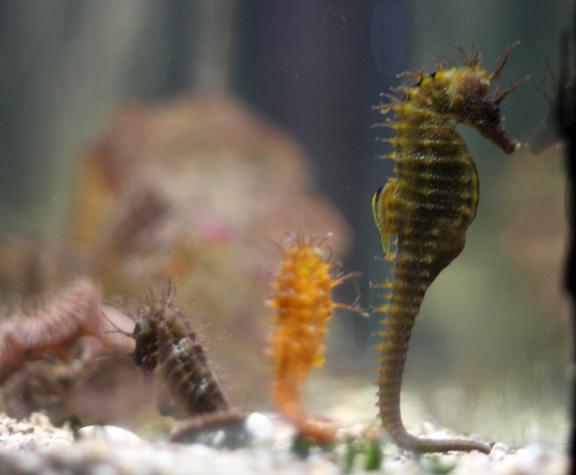 aquarium sea horses