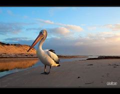 Posing Pelican (Dale Allman) Tags: ocean sunset sky reflection beach nature water canon sand australian australia wideangle pelican adelaide southaustralia 1740 henleybeach 5dmkii