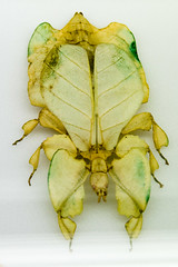 CD423 Leaf Insect (listentoreason) Tags: usa nature animal closeup america canon insect newjersey unitedstates favorites places walkingstick animalia arthropoda invertebrate stickinsect phasmatodea arthropod stickbug tomsriver insecta leafinsect pterygota phasmida neoptera score35 ef28135mmf3556isusm bugmuseum insectidentification exopterygota phylliidae insectropolis phyllioidea animalidentification bugseum hemipterodea